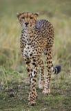 Jachtluipaard in de Savanne Close-up kenia tanzania afrika Nationaal Park serengeti Maasai Mara stock afbeeldingen