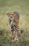 Jachtluipaard in de Savanne Close-up kenia tanzania afrika Nationaal Park serengeti Maasai Mara royalty-vrije stock afbeeldingen