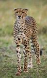 Jachtluipaard in de Savanne Close-up kenia tanzania afrika Nationaal Park serengeti Maasai Mara royalty-vrije stock foto's