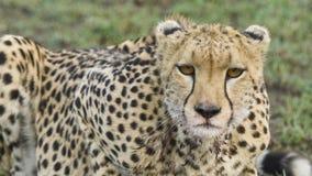 Jachtluipaard dichte omhooggaand in de wildernis Royalty-vrije Stock Foto