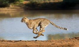 Jachtluipaard die, Acinonyx-jubatus, Zuid-Afrika lopen stock afbeeldingen
