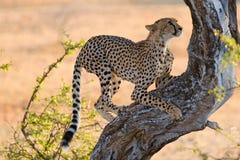 Jachtluipaard die boom beklimt Royalty-vrije Stock Fotografie