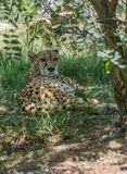 Jachtluipaard die in de schaduw van een boom rusten royalty-vrije stock afbeeldingen