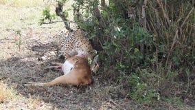 Jachtluipaard die een dode gazelle eten stock videobeelden