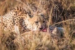 Jachtluipaard die een gemeenschappelijke reedbuck in Kruger eet stock foto