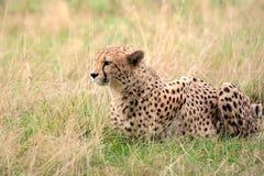 Jachtluipaard die in gras ligt stock foto