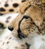 Jachtluipaard die in het gras ligt stock afbeeldingen