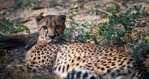 Jachtluipaard die in het gras ligt royalty-vrije stock fotografie