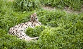 Jachtluipaard die in het gras ligt Stock Foto's