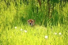 Jachtluipaard die in het gras rust Stock Foto's