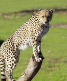 Jachtluipaard die naar prooi zoeken Royalty-vrije Stock Afbeeldingen