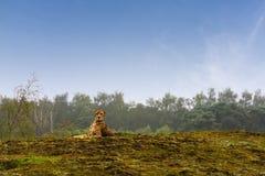 Jachtluipaard die op een heuvel legt Royalty-vrije Stock Foto's