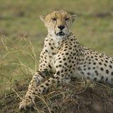 Jachtluipaard die op een hoop van grond liggen Royalty-vrije Stock Afbeelding