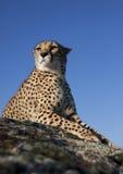 Jachtluipaard die op een rots ligt Stock Foto