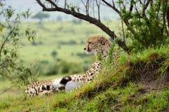 Jachtluipaard die op het gras in Afrikaanse savanne ligt Royalty-vrije Stock Afbeeldingen