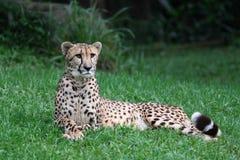 Jachtluipaard die op het gras ligt Stock Foto