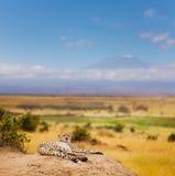 Jachtluipaard die rust op een heuvel van Keniaanse savanne hebben Royalty-vrije Stock Foto's