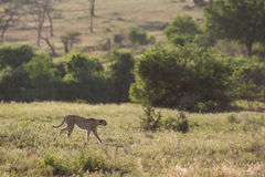 Jachtluipaard die in savanne Zuid-Afrika lopen royalty-vrije stock fotografie