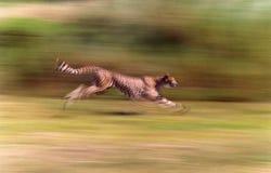 Jachtluipaard die snel bij hoge snelheid lopen stock foto's
