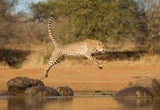 Jachtluipaard die tussen twee rotsen, Acinonyx-jubatus, Zuiden Afr springen royalty-vrije stock fotografie
