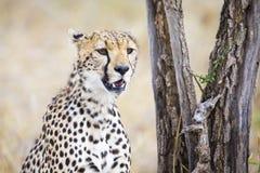Jachtluipaard die voor prooi in Serengeti zorgen Royalty-vrije Stock Foto's