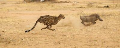 Jachtluipaard die wrattenzwijn achtervolgt Stock Fotografie