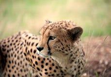 Jachtluipaard die zich in gras bevinden stock foto's
