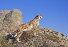 Jachtluipaard die zich op een rots bevindt Royalty-vrije Stock Fotografie