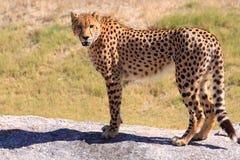 Jachtluipaard die zich op een rots bevindt Royalty-vrije Stock Afbeeldingen