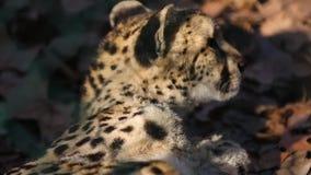 Jachtluipaard die zijn bont dicht omhoog likken stock video