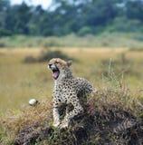 Jachtluipaard die zijn tanden toont royalty-vrije stock foto