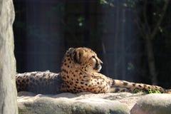 Jachtluipaard in dierentuin in Stuttgart royalty-vrije stock foto's