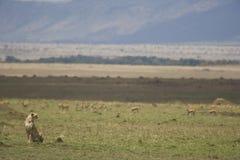 Jachtluipaard en Afrikaans Landschap, Kenia Royalty-vrije Stock Foto's