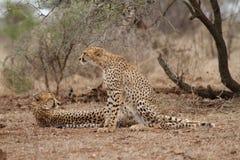 Jachtluipaard en haar 2 welpen die in bushveld rusten Stock Fotografie