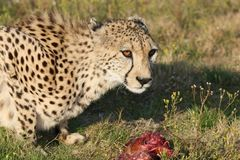 Jachtluipaard en Vlees Stock Afbeeldingen