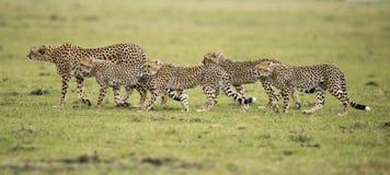 Jachtluipaard en welpen Royalty-vrije Stock Afbeeldingen