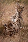 Jachtluipaard en welpspelstrijd in gras stock foto