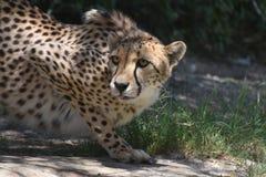 Jachtluipaard in evenwicht om wordt gehouden om geduldig het Wachten in die Crouch te slaan royalty-vrije stock foto's