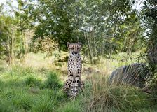 Jachtluipaard in gevangenschap royalty-vrije stock foto