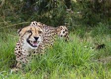 Jachtluipaard in gevangenschap, die in gras het snauwen liggen royalty-vrije stock fotografie
