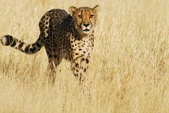 Jachtluipaard in Gouden Grassen Stock Foto's