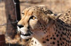 Jachtluipaard gouden oog royalty-vrije stock afbeelding