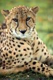 Jachtluipaard - guepard Stock Afbeeldingen
