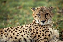 Jachtluipaard - guepard Royalty-vrije Stock Afbeelding