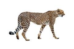 Jachtluipaard het Lopen Profiel op Wit wordt geïsoleerd dat royalty-vrije stock afbeeldingen