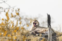 Jachtluipaard in het Nationale park van Kruger, Zuid-Afrika royalty-vrije stock afbeeldingen