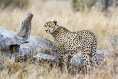 Jachtluipaard in het Nationale park van Kruger, Zuid-Afrika Royalty-vrije Stock Afbeelding
