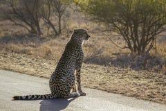 Jachtluipaard in het Nationale park van Kruger, Zuid-Afrika stock afbeelding