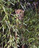 Jachtluipaard het verbergen Royalty-vrije Stock Fotografie
