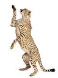 Jachtluipaard, jubatus Acinonyx Royalty-vrije Stock Afbeelding